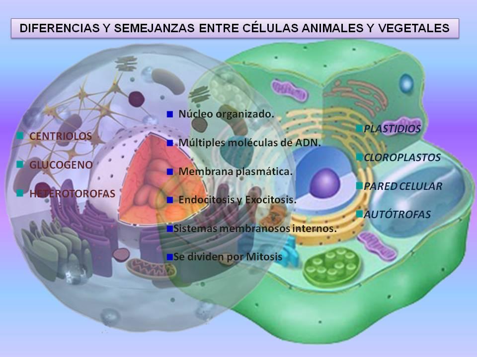 Diferencias Y Semejanzas Procariota Y Eucariota Portafolio De Biología 1 D