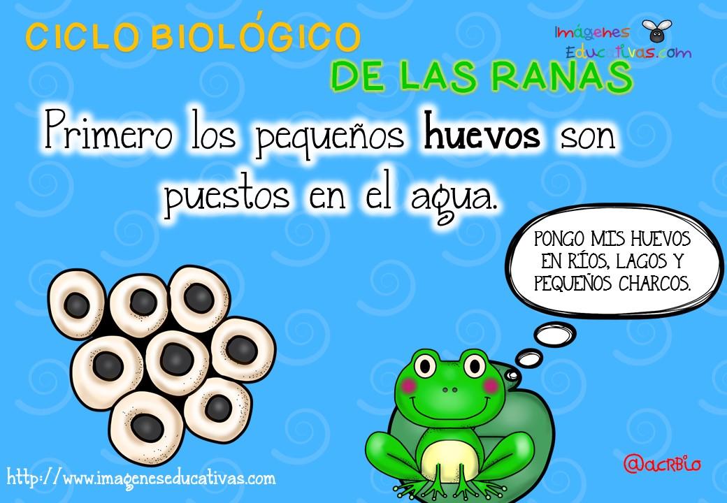Ciclo biológico de las ranas para niños (3) - Imagenes