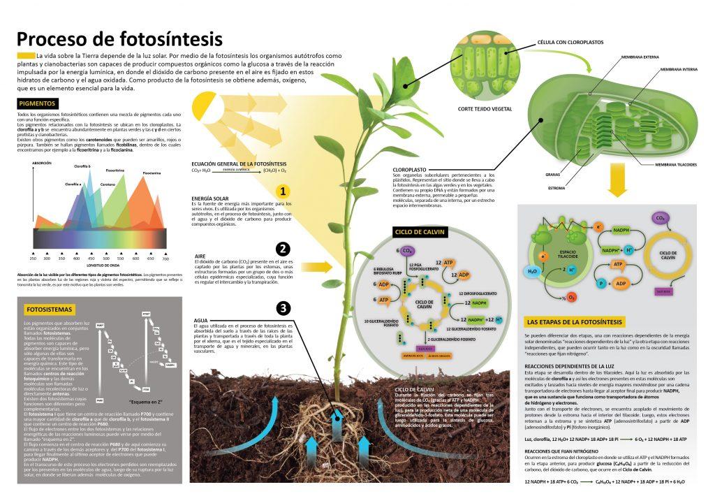 Super infografía de la fotosíntesis para vuestras alas - Imagenes ...